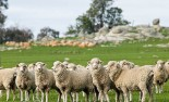 Flock of Dorset sheep grazing in a field. Country Victoria, Australia