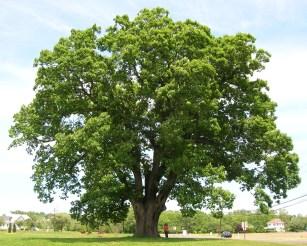 Keeler_Oak_Tree_-_distance_photo,_May_2013
