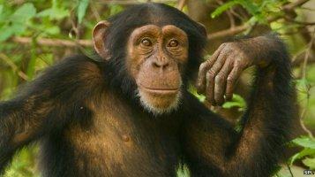 _68795045_c0160664-young_chimpanzee,_pan_troglodytes_verus-spl
