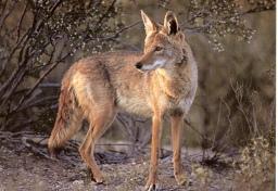 coyote11