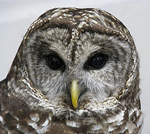 220px-Barred_Owl