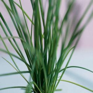 cc-chives-0206p168a-x