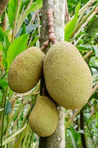 Jackfruit_hanging