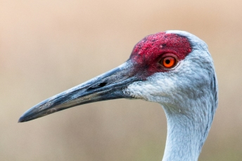 sandhill-crane-headshot