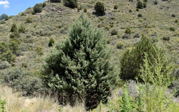 4837Cupressus-arizonica-Arizona-Cypress660x416