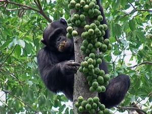 Chimp-eating-figs-300x225