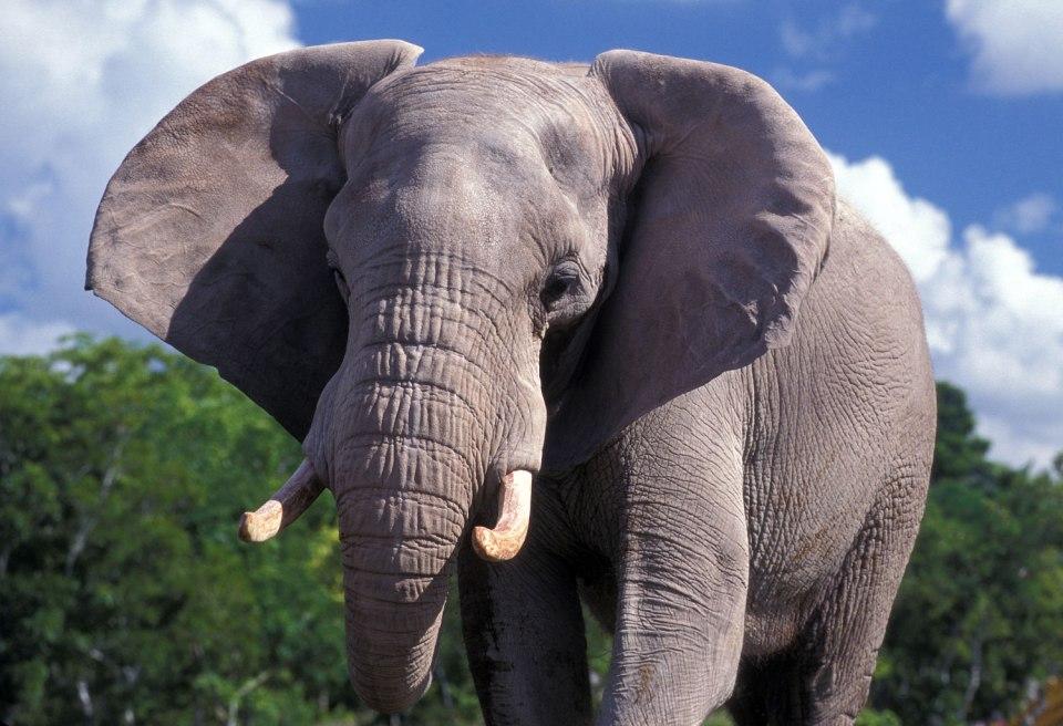 african-elephant-7
