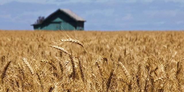 us-wheat-harvest-pic
