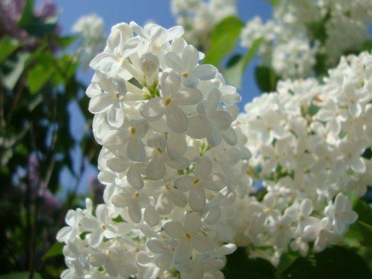 white_lilac_by_norroen_stjarna-d3huarv